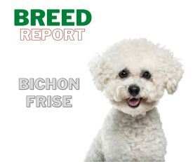 Breed Report Bichon Frise